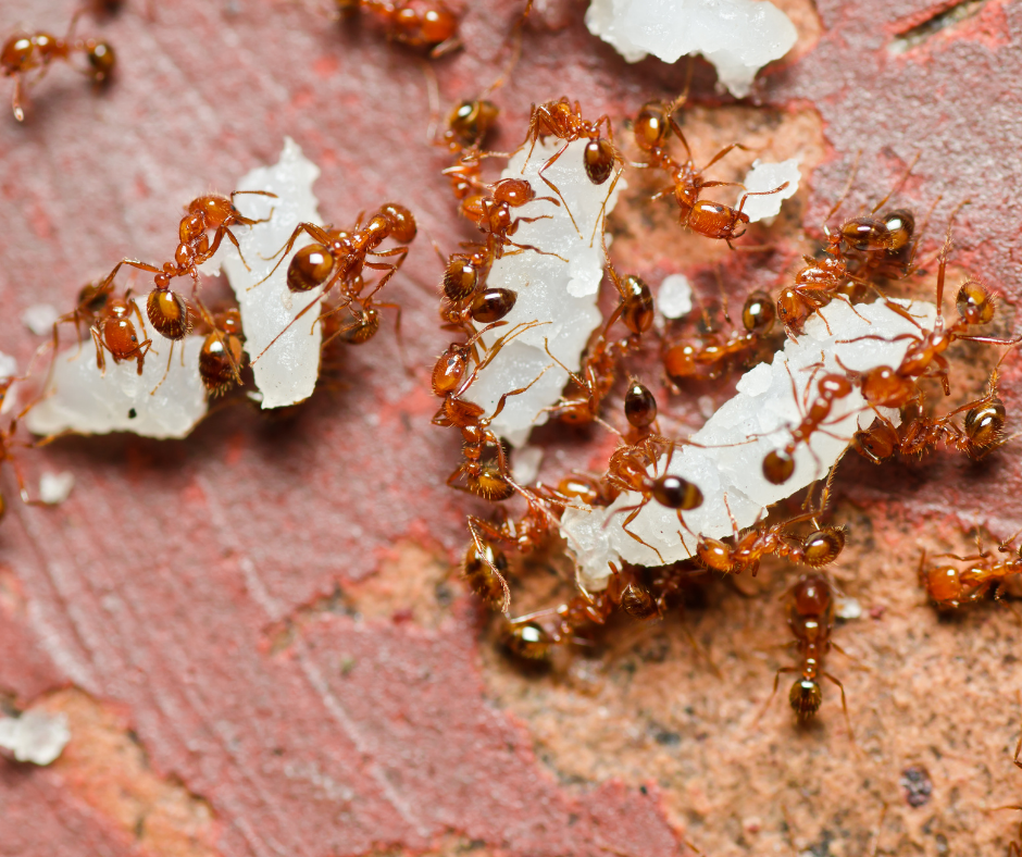 fireant picture